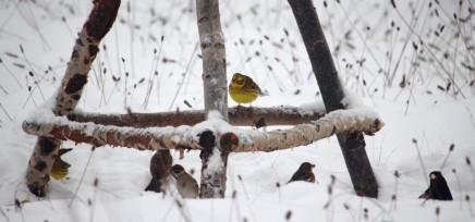 Goldammern - gelbe Farbtupfer im Winter.