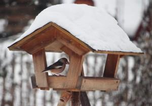 Seltener Besuch am Vogelhaus: ein Kernbeißer.