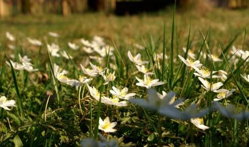 Frühjahrsblüher Buschwindröschen im ungemähten Garten.