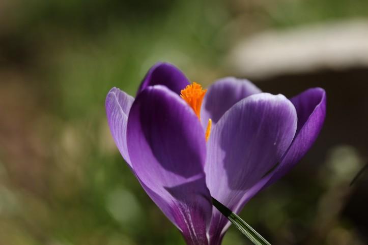 Frühlingserwachen_Krokus_lila (2)