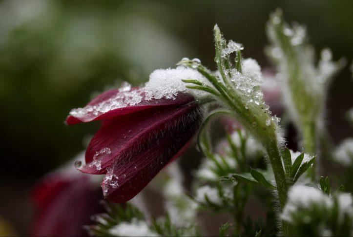 Weiß wie Schnee, Rot wie Küchenschelle und grün wie Frühling.