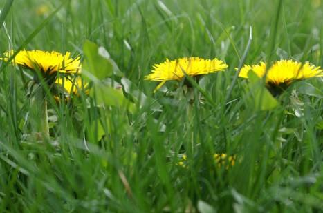 """Eine Löwenzahnblume ist wie ein dichtgepackter Blumenstrauß aus lauter einzelnen Blüten - oder eben ein """"Korb voll Blüten"""", typisch für alle Mitglieder der Korbblütler."""