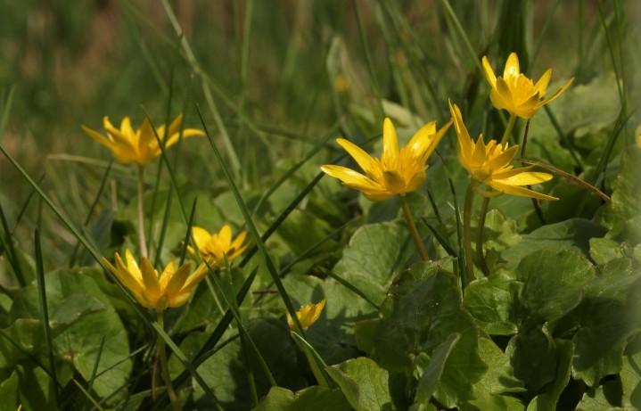 Kleine leuchtende Sonnen im Gartengrün: das Scharbockskraut.