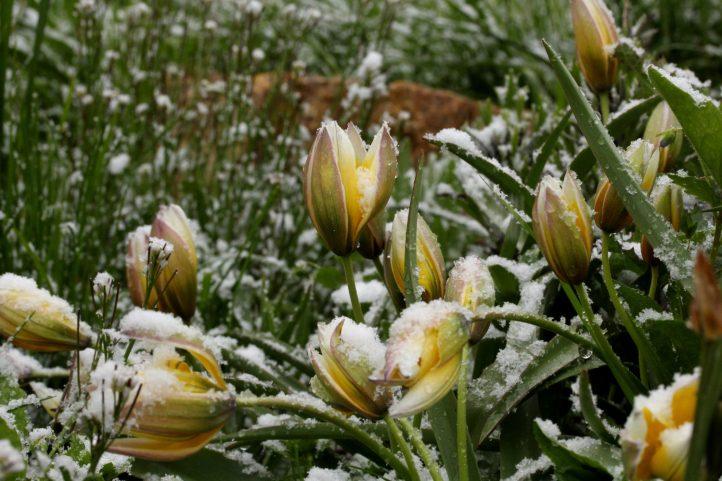 April, April, der weiß nicht, was er will. Blüten oder Schnee?