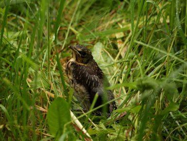Am Gefieder erkennt man noch ein paar Jungvogeldaunen.