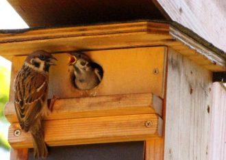 Zwei Tage nach dieser Aufnahme verließen die Feldsperlingjungen ihr Nest. Solange sie im Revier der Wacholderdrosseln unterwegs sind, profitieren sie von deren Wachdiensten: Sie hält Elstern und Katzen fern.