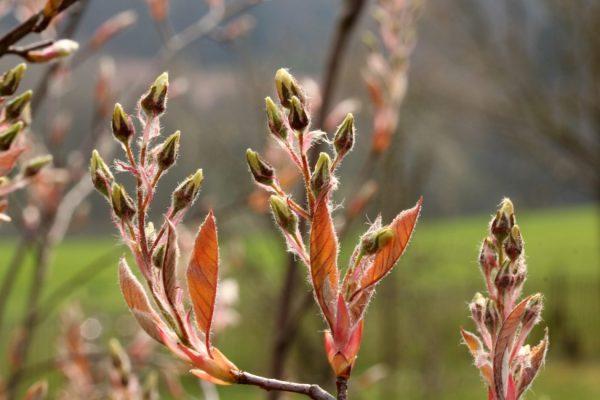 Felsenbirne im Frühling: Zart gelbe Blütenknospen und braunrötliche Blätter.