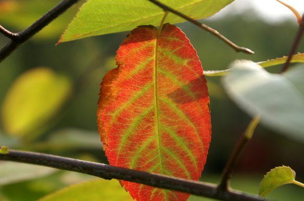 Das erste Herbstblatt im letzten Jahr.