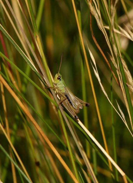 Dank Teleobjektiv endlich erwischt! Die Heuschrecke hat kurze Fühler - also eine Beingeigerin. oder besser: GeigER, denn meistens zirpen die Männchen.