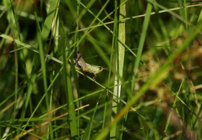 Gut zu hören, aber schwer zu entdecken, sowohl im grünen als auch im braunen Gras: die Heuschrecken.