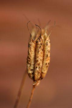 Samenkapsel der Akelei. Die Samen sind mini-kleine schwarze Kügelchen.