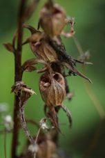 Samenkapseln der Glockenblume. Die Samen fallen aus den Öffnungen heraus wie Salz aus einem Salzstreuer.