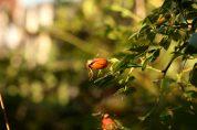Dass die Hagebutte die Frucht der Heckenrose ist, wissen angeblich immer weniger Menschen...