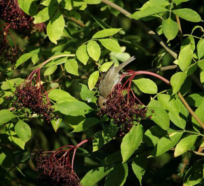 Die leckersten Früchte wachsen immer da, wo man am schwersten hinkommt. Diese Regel scheint auch für Mönchsgrasmücken zu gelten