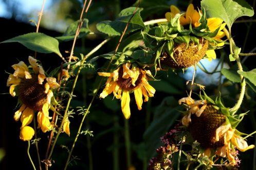 Verblühende Sonnenblumen - ein erstes Zeichen für den nahenden Spätsommer.