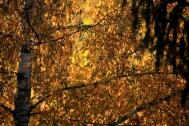 birke-herbstlaub