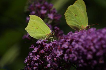Besuch vom Insekt des Jahres 2002: Zitronenfalter (Gonepteryx rhamni) auf dem üppig blühenden Schmetterlingsflieder Buddleja, Ende Juli.