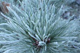 kiefer-im-frost