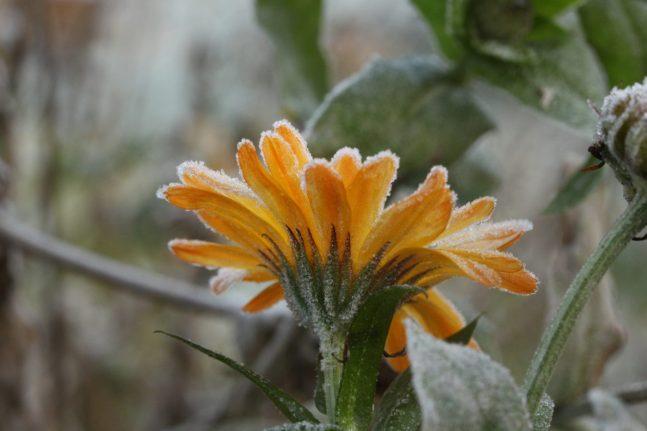 Ringelblume im Frost, Mitte November. Irre, wie spät im Jahr Ringelblumen noch blühen. Aber nach dem Frost war´s das dann.