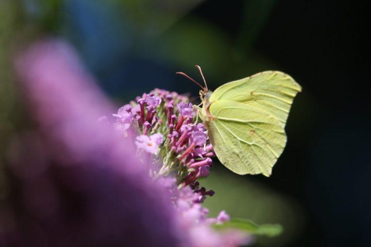 zitronenfalter_gonepteryx-rhamni_2