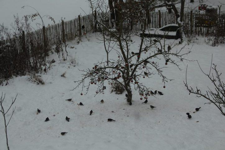 Allein hier zähle ich an die 30 Vögel. Von den Äpfeln ist nur noch ein Bruchteil übrig.