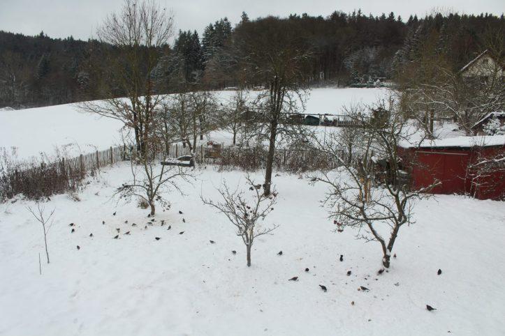 Mindestens 60 Vögel, nur am Boden und in den drei kleinen vorderen Apfelbäumen. Der Trupp in der Eiche ist noch nicht mitgezählt. Die drei kleinen Apfelbäume hingen vor wenigen Stunden noch voller Äpfel!