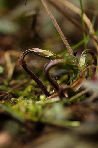 Die Frühlingsplatterbsen (Lathyrus vernus) haben tatsächlich den Winter überstanden! Ich war mir da ja nicht so sicher, aber umso mehr freue ich mich darüber und auf ihre knalligen Blüten!