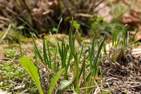 Schnittlauch sprießt. Ich freue mich schon auf die kugeligen lilalen Blüten.