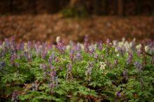 Dicht an dicht, ein Lerchensporn-Feld im Wald.