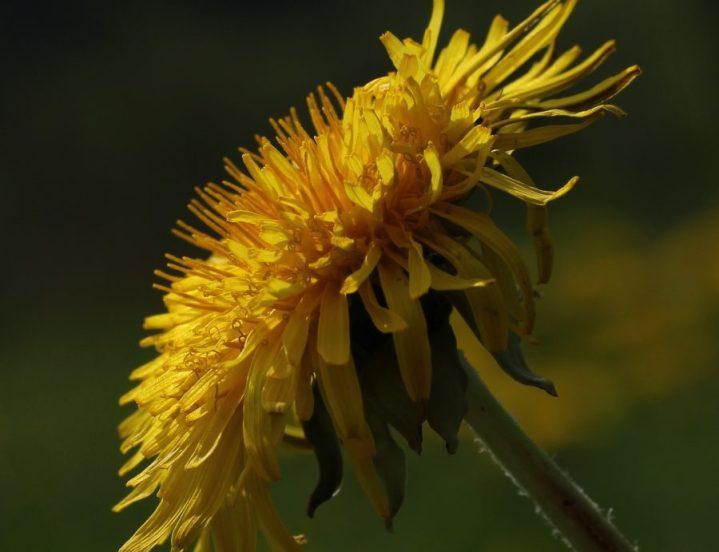 Löwenzahnblüte