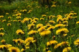 Löwenzahnwiese - das reinste Pollen- und Nektareldorado für hungrige Insekten.
