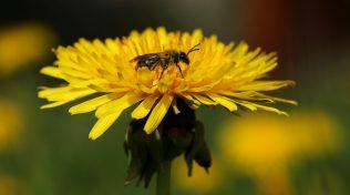 Biene muss nicht immer nur Pollen und Nektar suchen. Einfach mal ausruhen und sich in der Sonne wärmen geht auch.
