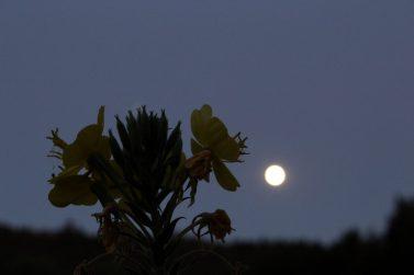 Nachtkerze bei Vollmond