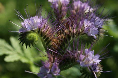 Phaselia, Bienenweide