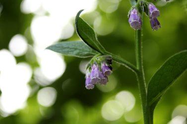 Der Echte Beinwell blüht nicht immer nur lila, seine blüten können auch weiß oder rosa sein.