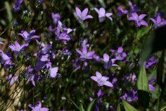 ein Strauß Wiesenglockenblumen