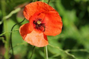 Bei den Mohnblüten herrscht so hektischer Insektenbetrieb, dass es fast unmöglich ist, ein vernünftiges Foto von Blüte mit Insekt hinzubekommen. Die Honigbienen unseres Nachbarn sowie Hummeln und Schwebfliegen summen, drängeln und schubsen sich - kein Witz! Man hat den Eindruck, jede hat Angst, dass sie nichts mehr erwischt.