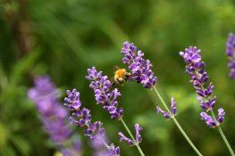 Fliegen wird überbewertet! Klettern ist der aktuelle Hummelsport zwischen den Lavendelblüten.