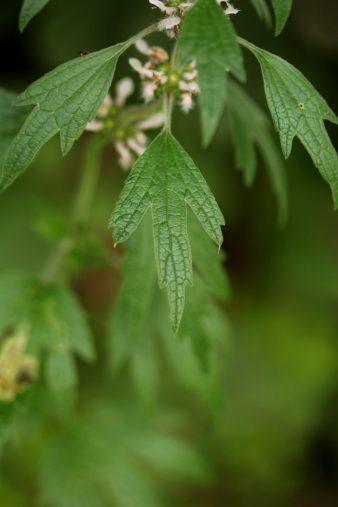 Die Form der Blätter zwischen den Büten ist charaketeristisch und angeblich namensgebend, da sie angeblich wie Löwenschwänze aussehen. Naja...