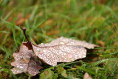 Eichenblätter zählen zu den gefürchtesten - und das Gras wächst trotzdem!