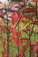 Das kunterbunte Heckenlaub, hier vom Pfaffenhütchen, stellt sich leuchtend gegen die dunkler werdende Jahreszeit.