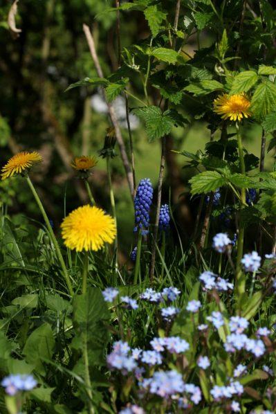 Gepflanzt und von selbst dazugekommen: Die Kombination macht´s! Das Löwenzahngelb ergänzt die Blautöne von Traubenhyazinthe und Vergissmeinnicht perfekt.