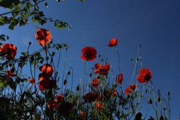 Auch beim Klatschmohn fallen Blühbeginn und Mähwut zusammen. Er blüht von Juni bis September.