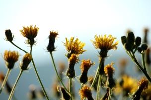 Pippau_Blüten