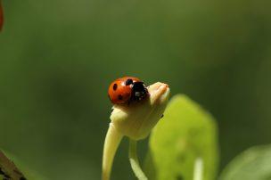Der Siebenpunkt-Marienkäfer: Ein Tierchen wie für Kinderbilderbuch erfunden. Kein Wunder, dass er so ein Sympathieträger ist!