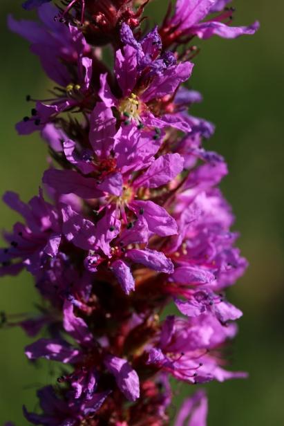 Blutweiderich ganz nah. Diese Blüte steht in unserem Garten.