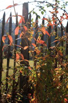 Blutweiderich in Herbstfarben_1