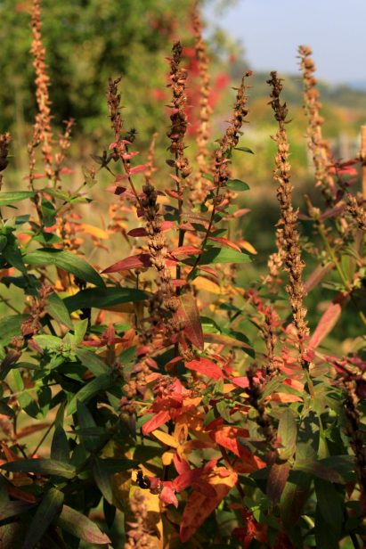 Blutweiderich in Herbstfarben_2
