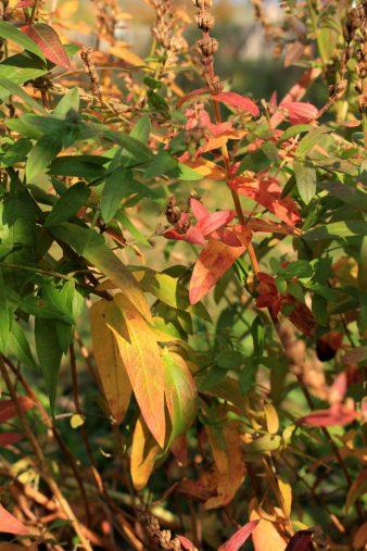 Blutweiderich in Herbstfarben_3