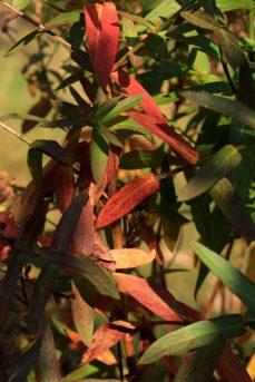Blutweiderich in Herbstfarben_4